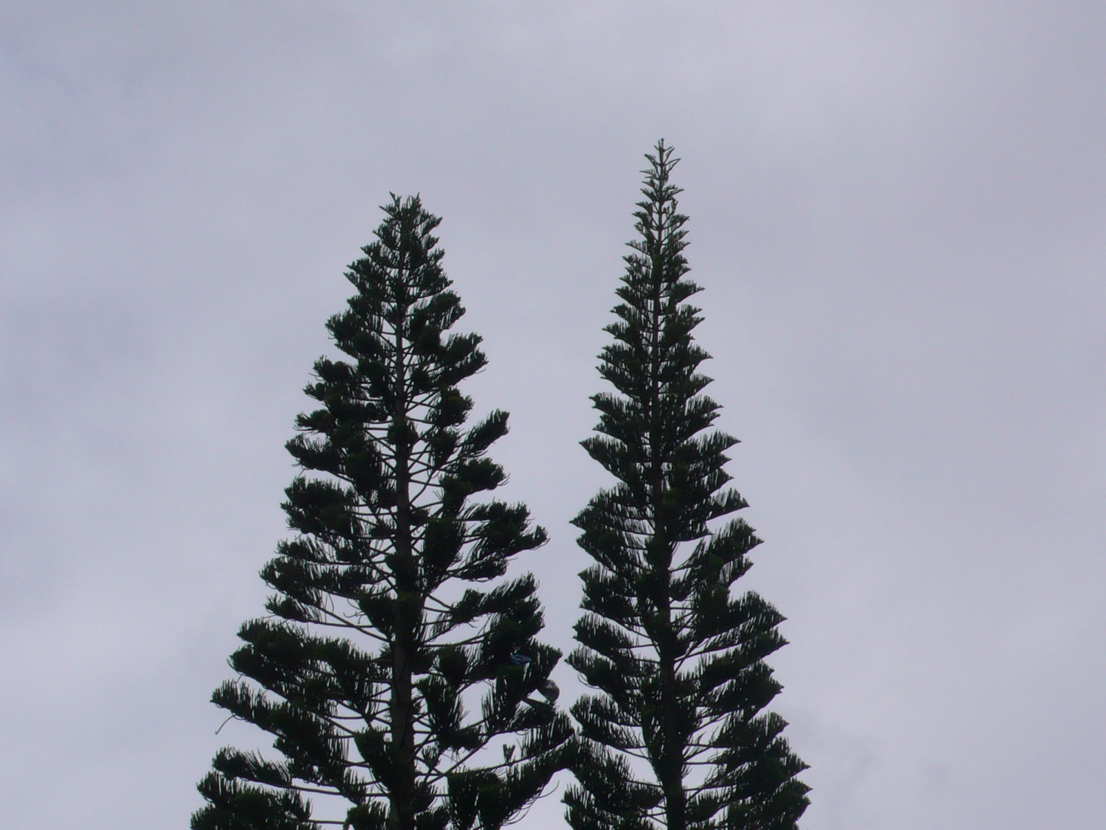 And information network araucaria heterophylla norfolk pine - Using