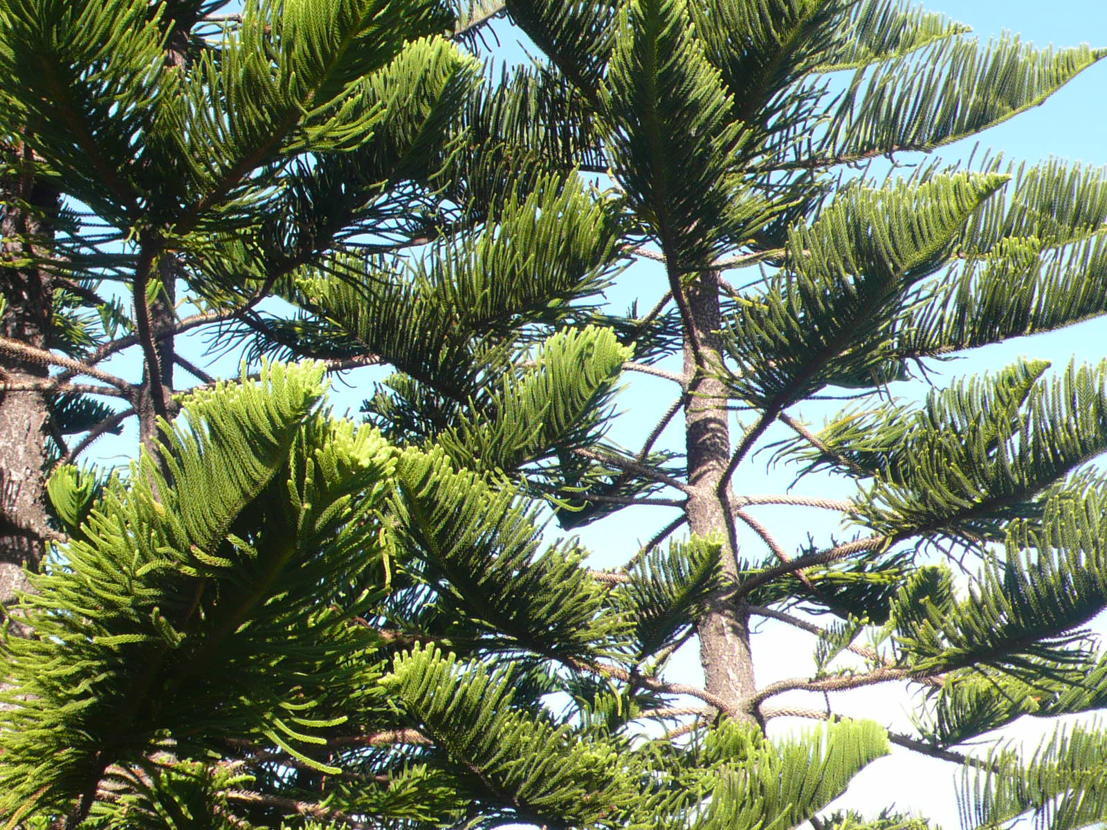 And information network araucaria heterophylla norfolk pine - Norfolk Pine Branches